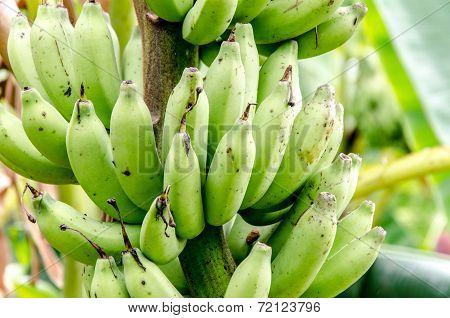 Banana In Banana Farm