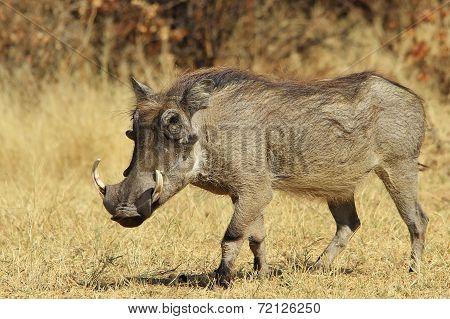 Warthog - African Wildlife Background - Posture of Power