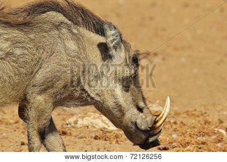 Warthog - African Wildlife Background - Teeth and Tusks