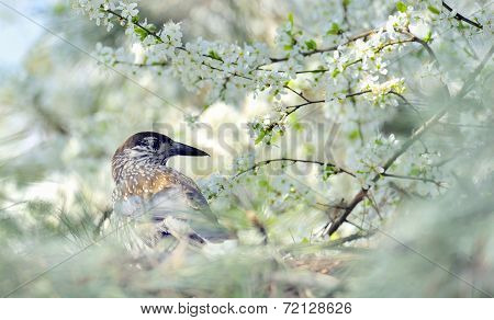 Thrush On Branch  (turdus Obscurus)