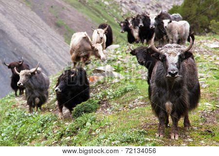 Group Of Yaks