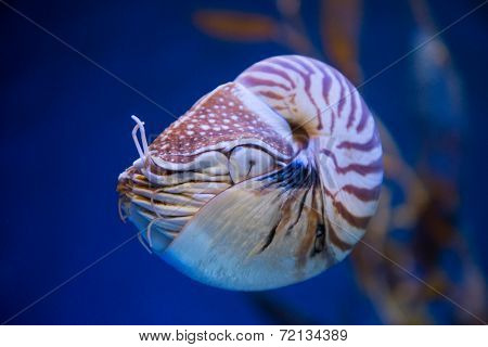 Nautilus pompilius or chambered nautilus is a cephalopods with a prominent head and tentacle