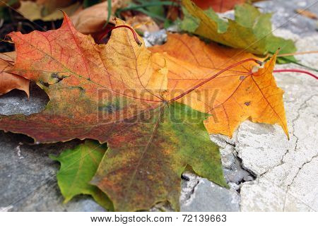Maple Leaves On Stone