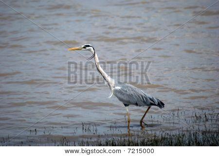 Grey heron, Selous National Park, Tanzania