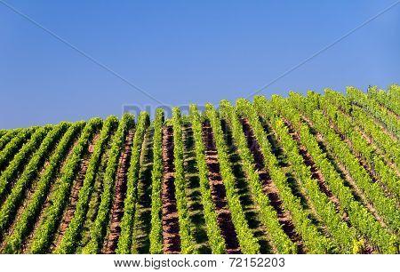 Vineyard in Pfalz, Germany
