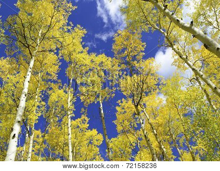 Aspen trees in golden autumn colors