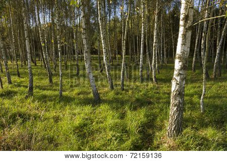 Sunrise In Birch Forest