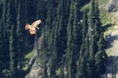A juvenile Red-tailed Hawk seen from above at Mount Rainier National Park poster