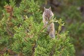 small rodent or chipmunk feeding on juniper berries in yellowstone national park poster
