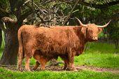 Highland cattle suckling in green idyllic rural landscape poster
