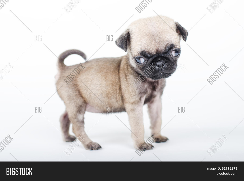 Newborn Pug Puppy Image Photo Free Trial Bigstock