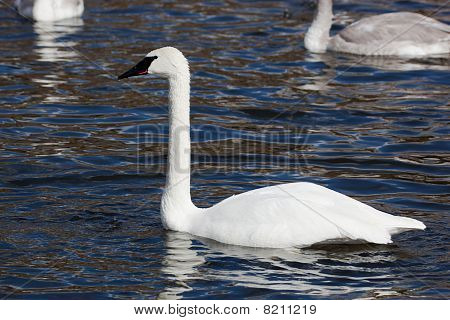 Bugler, Trumpeter, Swan, Cygnus Buccinator