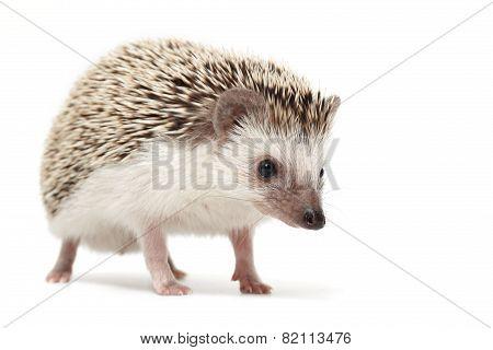 Hedgehog sniffing around