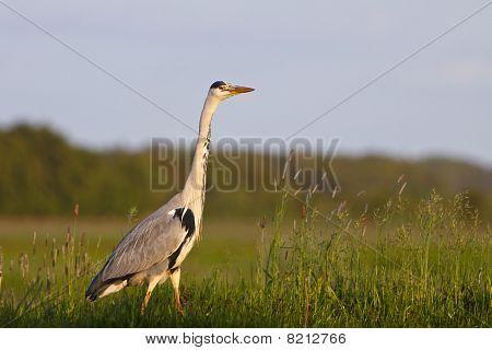 Grey heron bird in close-up standing in grassland poster