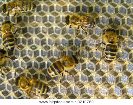 Young bees execute different works in a beehive. poster