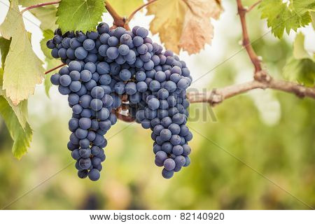 Pinot Noir wine grapes on vine