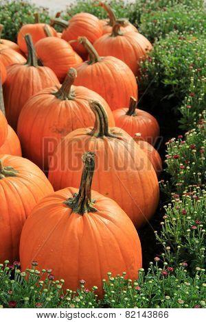 Pumpkins tucked into budding mums