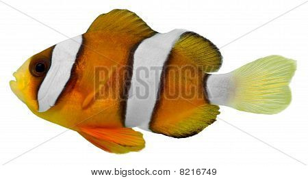 Clark Clown Fish (amphirion Clarkii)