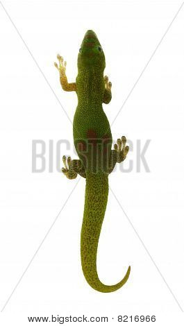 Madagascar Day Lizard - Top View