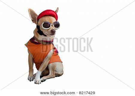 Cool Chihuahua With Cap And Sunglasses