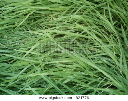 Wet long grass
