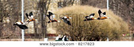 Ruddy Shelduck In Fly, Tadorna Ferruginea
