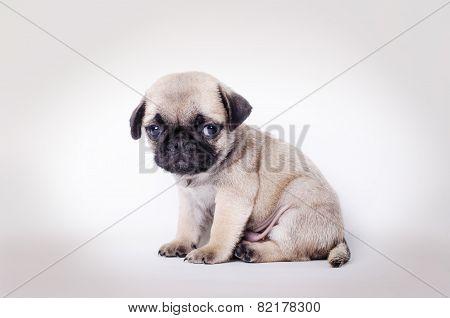 Fawn Puppy Pug Sitting