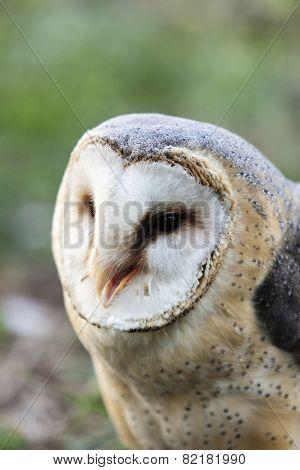 Beautiful Owl - Tyto Alba, Barn Owl