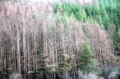 Dead Evergreen Forest due to climat? changes. poster