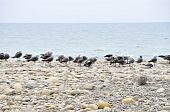 A flock of seagulls rest on the rocks of a Southern California shore poster