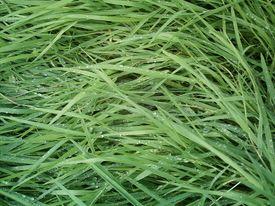Wet long grass