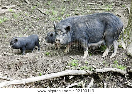 A black mama potbelly pig with two of her babies all living in the wild.