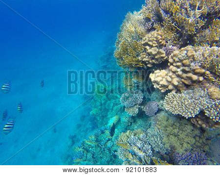 Red Sea fishes on a coral reef. Underwater Snorkeling