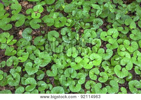 wild ginger leaves