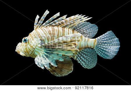 Pterois Volitans, Lionfish - Isolated On Black
