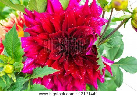 Beautiful Blooming Red Velvet Petals Dahlia Macro Of Raindrops, Closeup