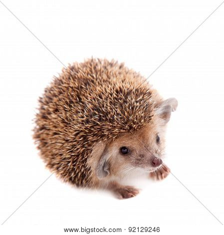Long-eared hedgehog on white