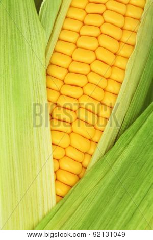 Close-up View Of Ripe Corn On The Cob Among Green Leaves