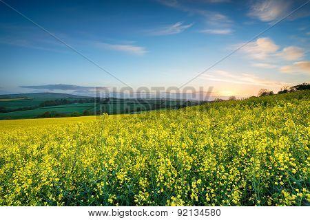 Rapesseed Fields