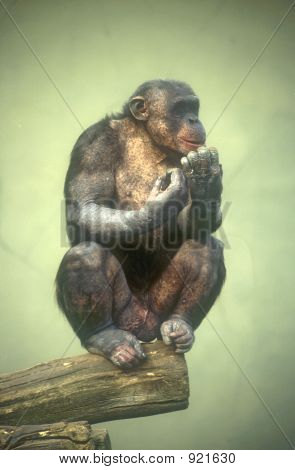 Lonely Chimp