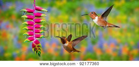 Rufous Hummingbirds (archilochus Colubris) In Flight