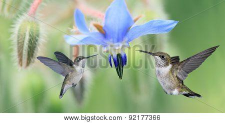 Two Hummingbirds (archilochus Colubris) In Flight