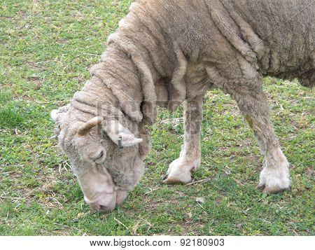 Wrinkled Lamb