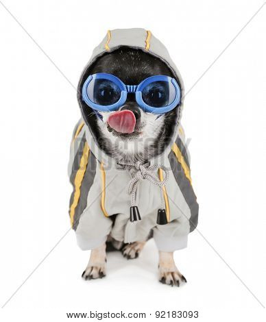 a chihuahua with a furry coat and goggle on isolated on a white background with his tongue licking his nose