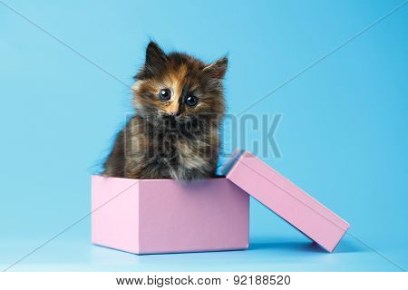 Cute Tortie Kitten Sits In Pink Box On Blue Background