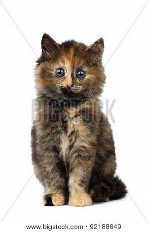 Cute Tortie Kitten Sitting On White Background