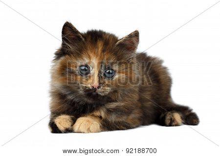 Cute Tortie Kitten Lies On White Background