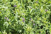 Medicago sativa in bloom (Alfalfa), under the intense sun poster