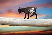 courageous young goat walking on tree clog over beautiful sunset sky showing equilibrium poster