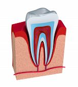 Section of the tooth. pulp with nerves and blood vessels. poster